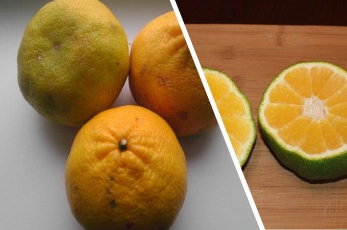 Citrus Fruits-Ugli fruit